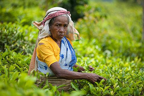 Teepflückerin auf der Insel Sri Lanka