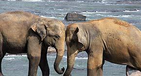 Elephant Orphanage in Pinnawela, Sri Lanka