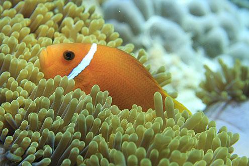 beliebter Fisch im indischen Ozean, häufig im Baa Atoll anzutreffen
