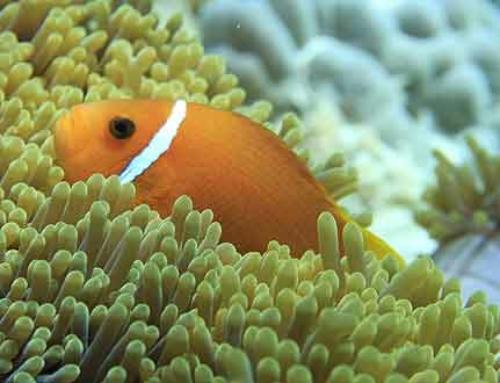 Malediven Tauchen – Mit Nemo schnorcheln