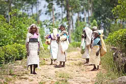 Teeplantagen auf Sri Lanka