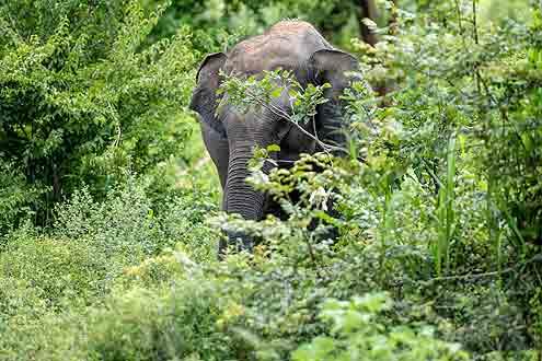 Wilder Elefant auf Sri Lanka