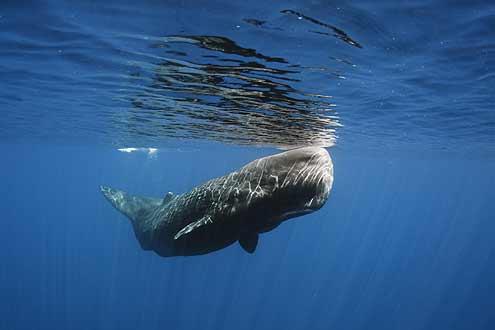 Walbeobachtung auf Sri Lanka